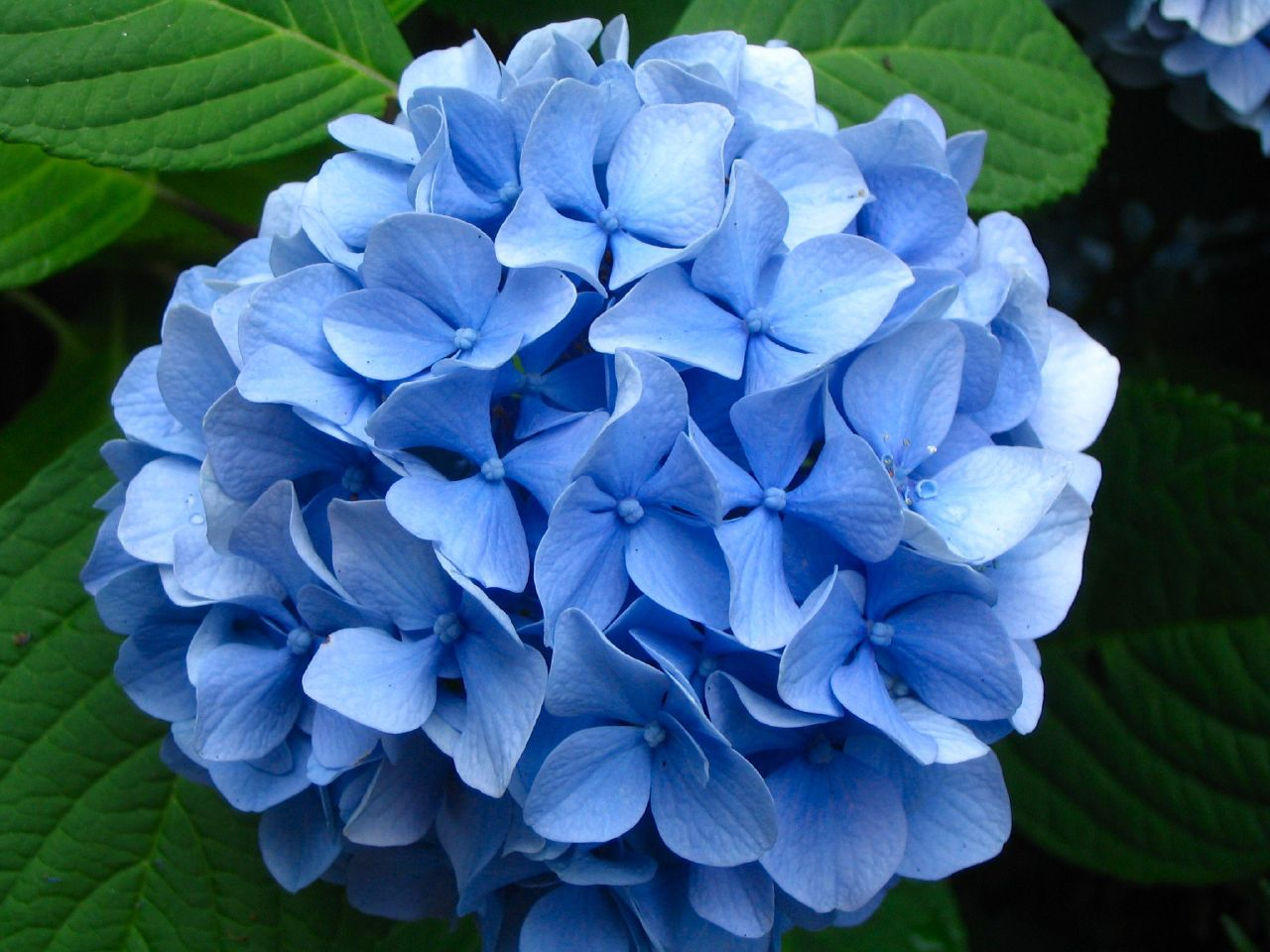 lawn and garden feature growing and caring for hydrangeas, Beautiful flower