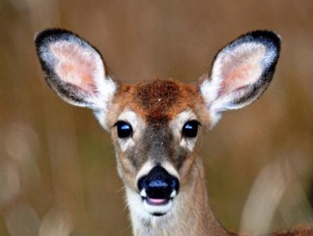 Antlerless Deer Licenses Go On Sale July 8