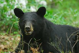 Game Commission Working to Capture Bear, Inform Public of Attack