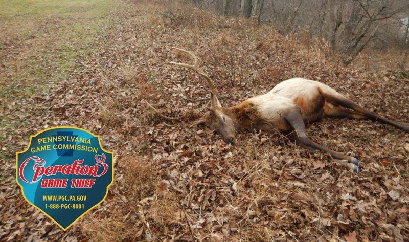 PA Game Commission: 3 Elk Shot in Benezette Township